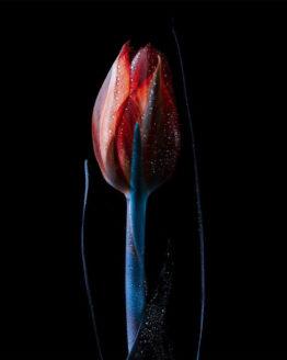 tulipano Francesco Ferla